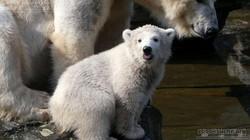 Eisbär  (105)