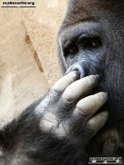 Gorilla Buzandi  (6)