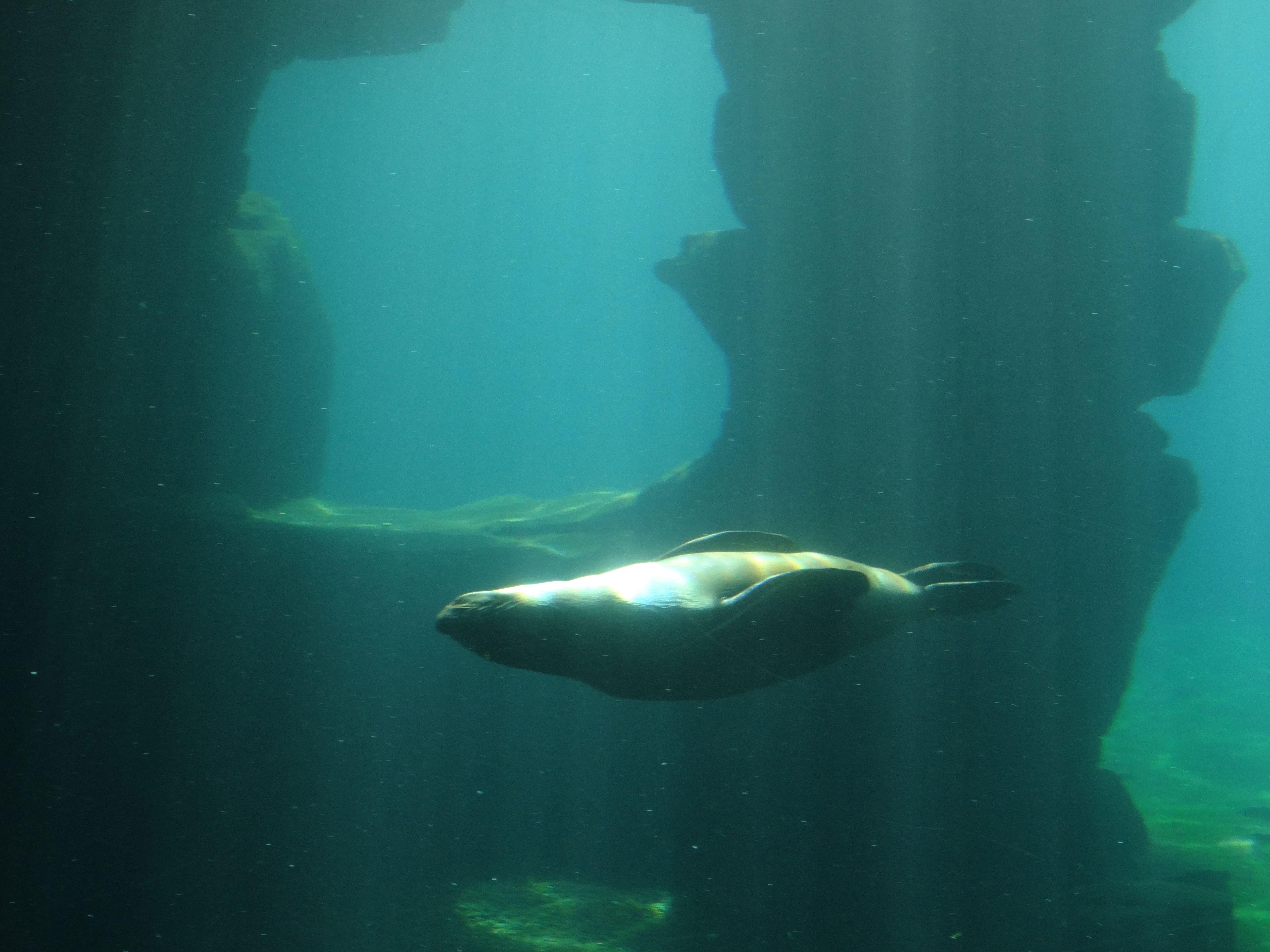 Südamerikanischer Seebär  (1)
