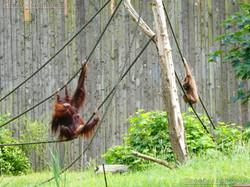 Orang_Utan_und_Weisßhandgibbon