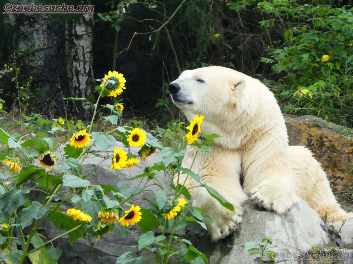 Eisbär Sprinter  (15)