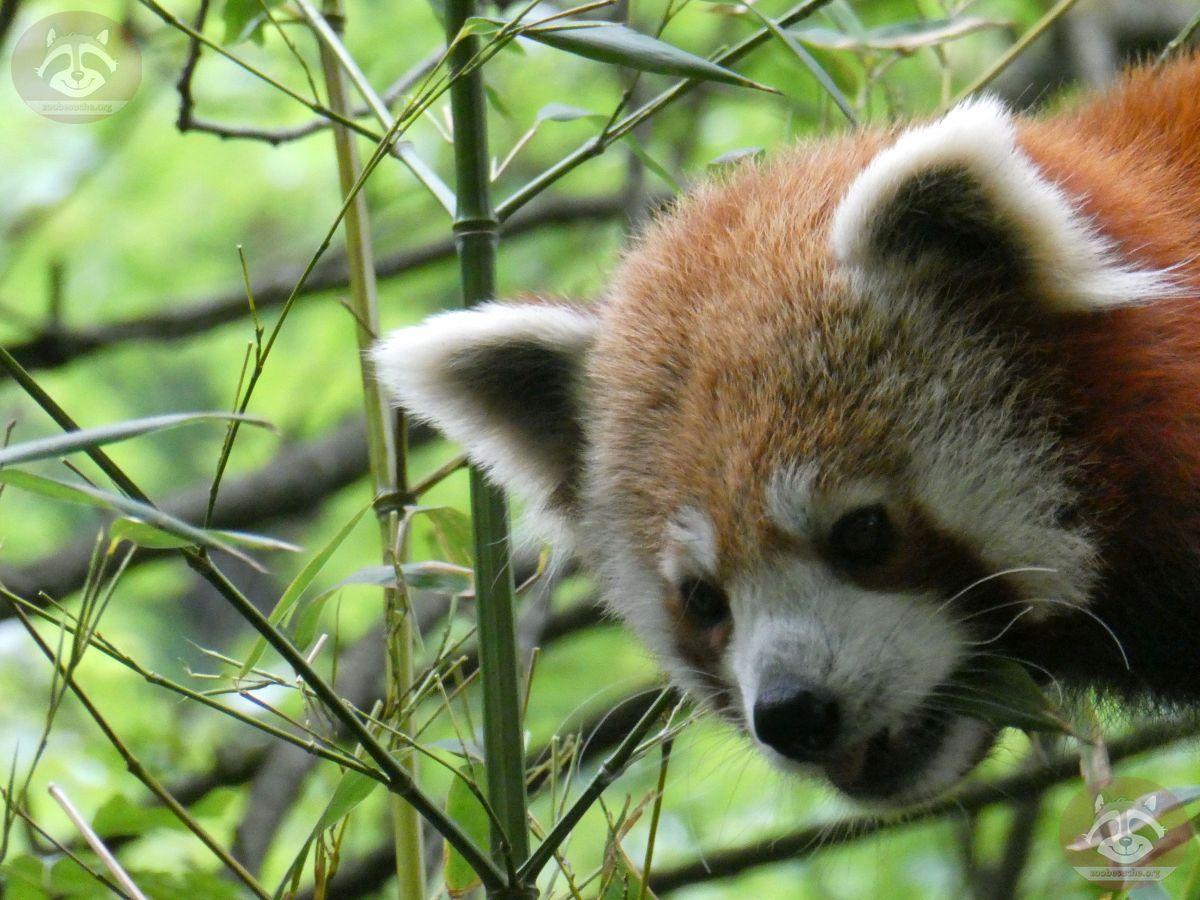 Roter Panda  (17)