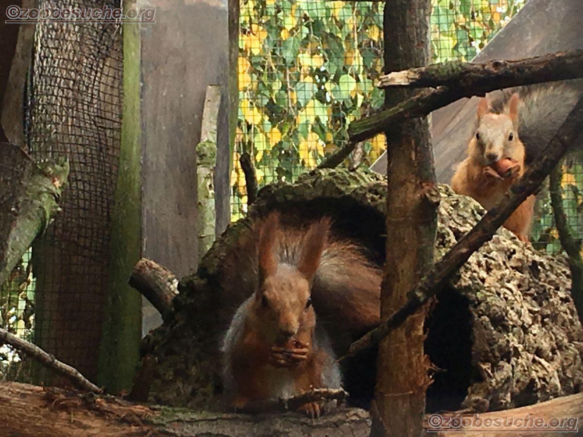 Sibirisches_Eichhörnchen