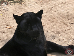 Schwarzer Leopard
