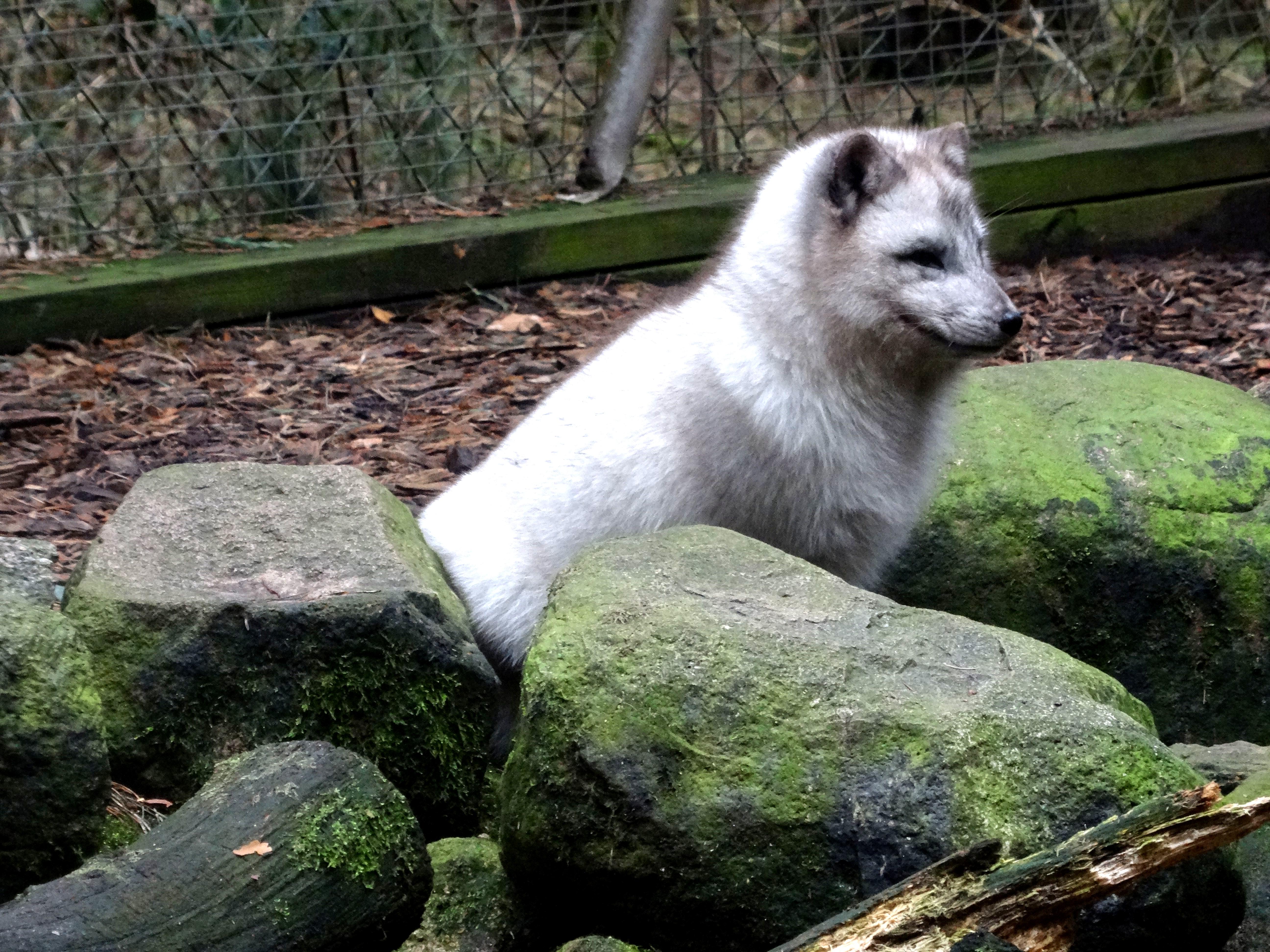 Polarfuchs  (16)