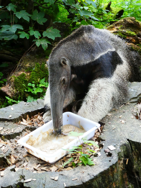 Großer Amaisenbär  (1)