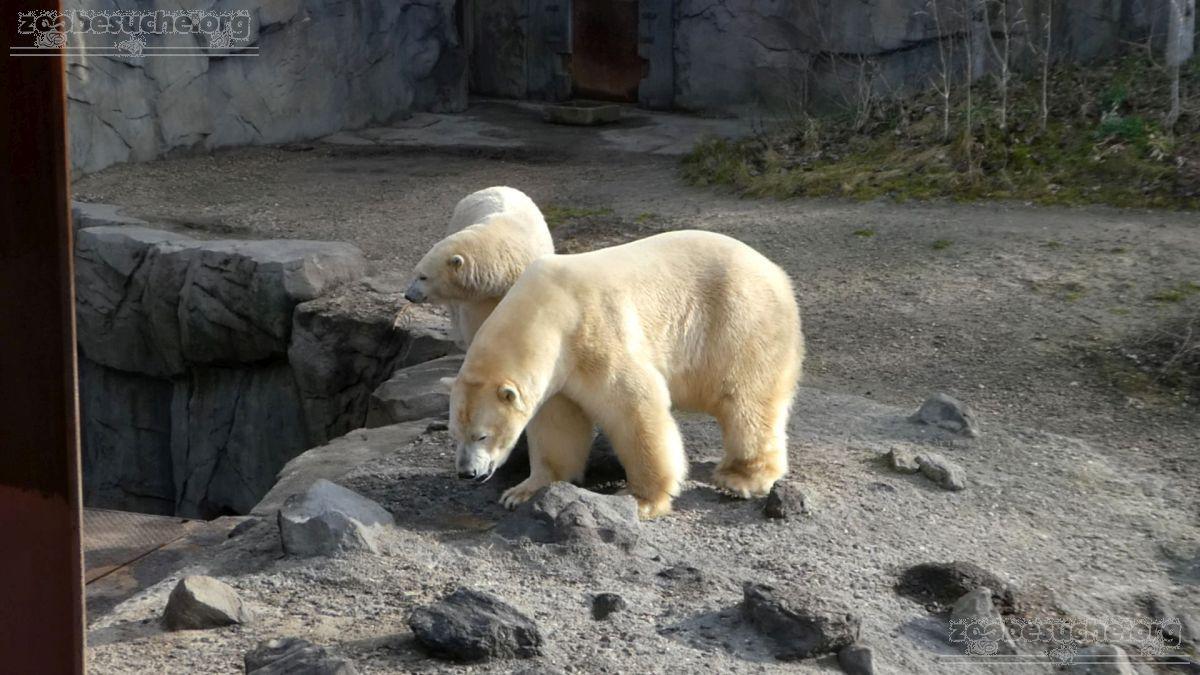 Eisbären_Milana_und_Sprinter__(4)