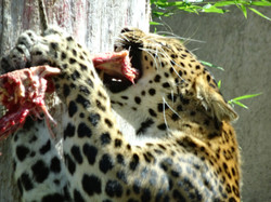 Leopard Julius  (25)