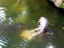 Flusspferd (11)