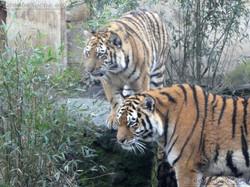 Tigerin Alexa mit Jungtier  (3)