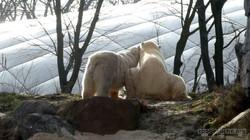 Eisbären_Milana_und_Sprinter__(2)