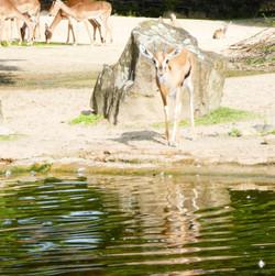 Elenantilope  (1)