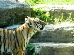 Tiger Jungtier (24)