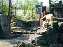 Eisbären_Milana,_Charlotte_und_Sprinter.