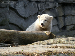 Eisbär  (76)