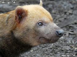 Waldhund  (2)