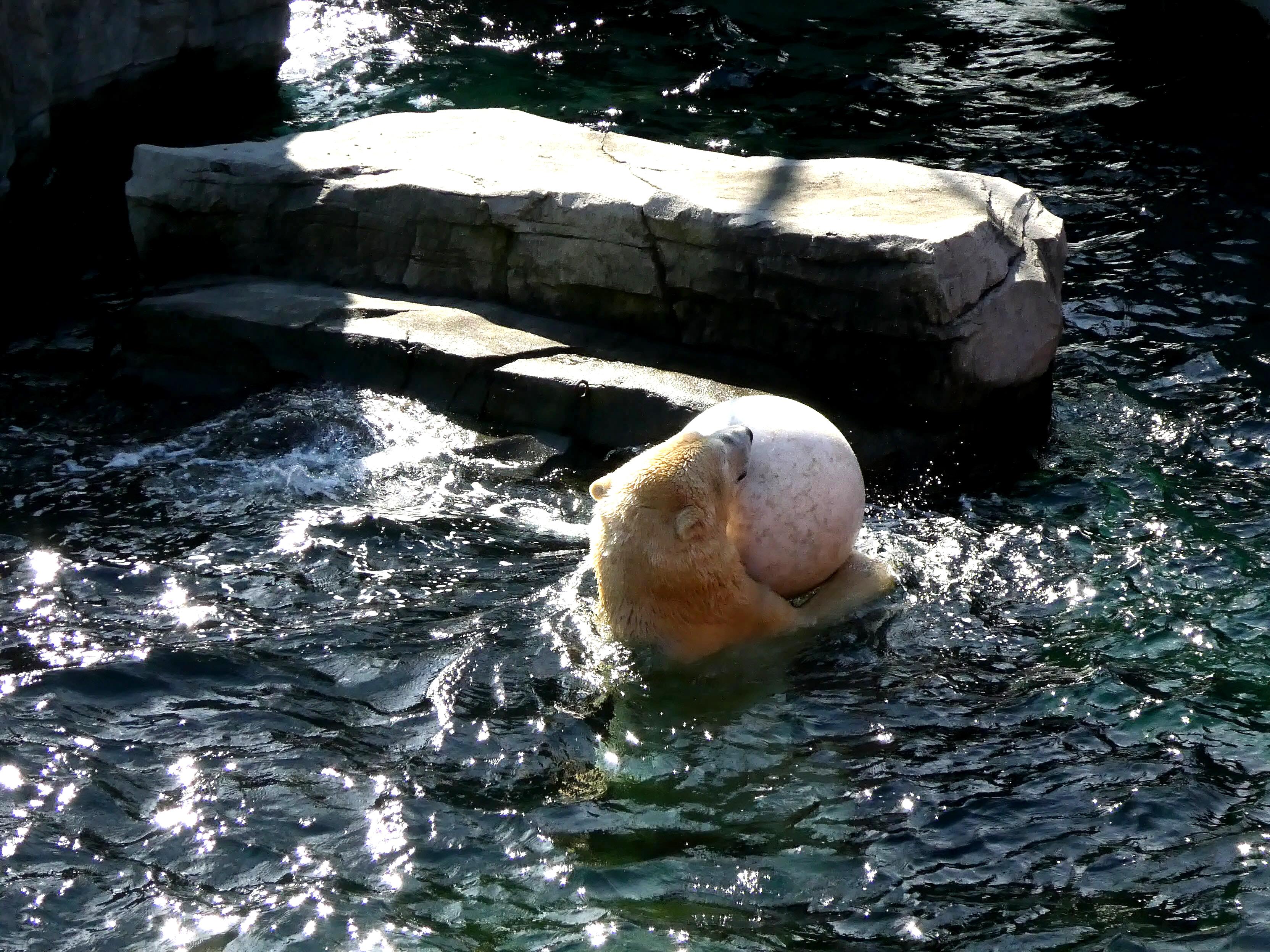 Eisbär  (23)