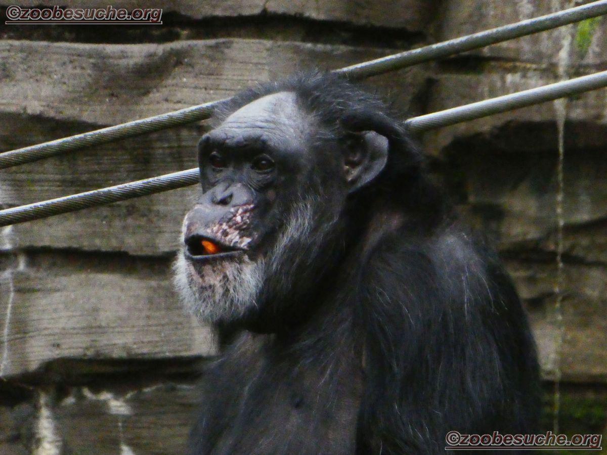 Schimpansen  (10)