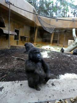 Gorilla Jungtier Anandi
