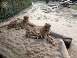 Gepard (3)