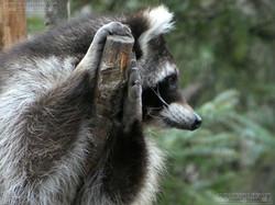 Waschbären  (5)