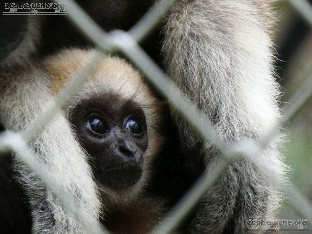 Weißhand Gibbon  (10)
