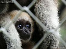 Weißhand Gibbon  (10).jpg