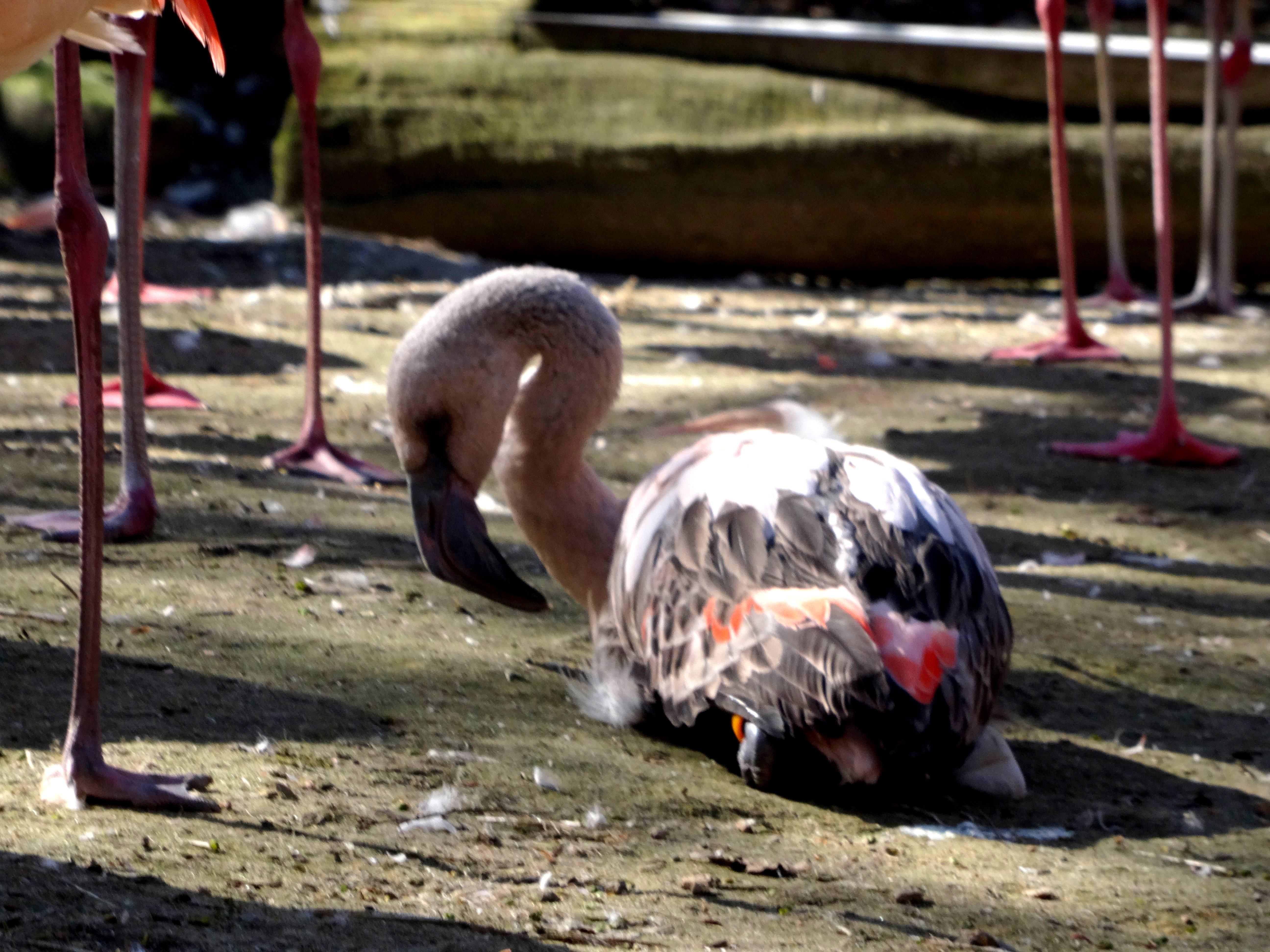Flamingo  (2)