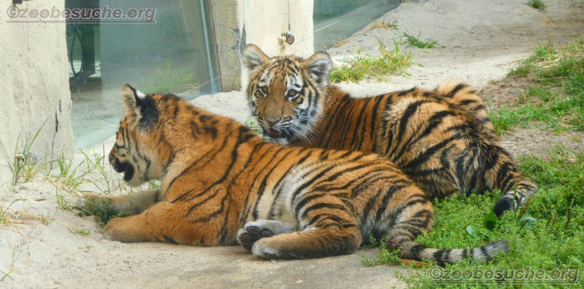 Tigerjungtiere  (10)