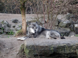 Timberwolf  (6)