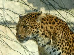 Leopard Julius  (5)