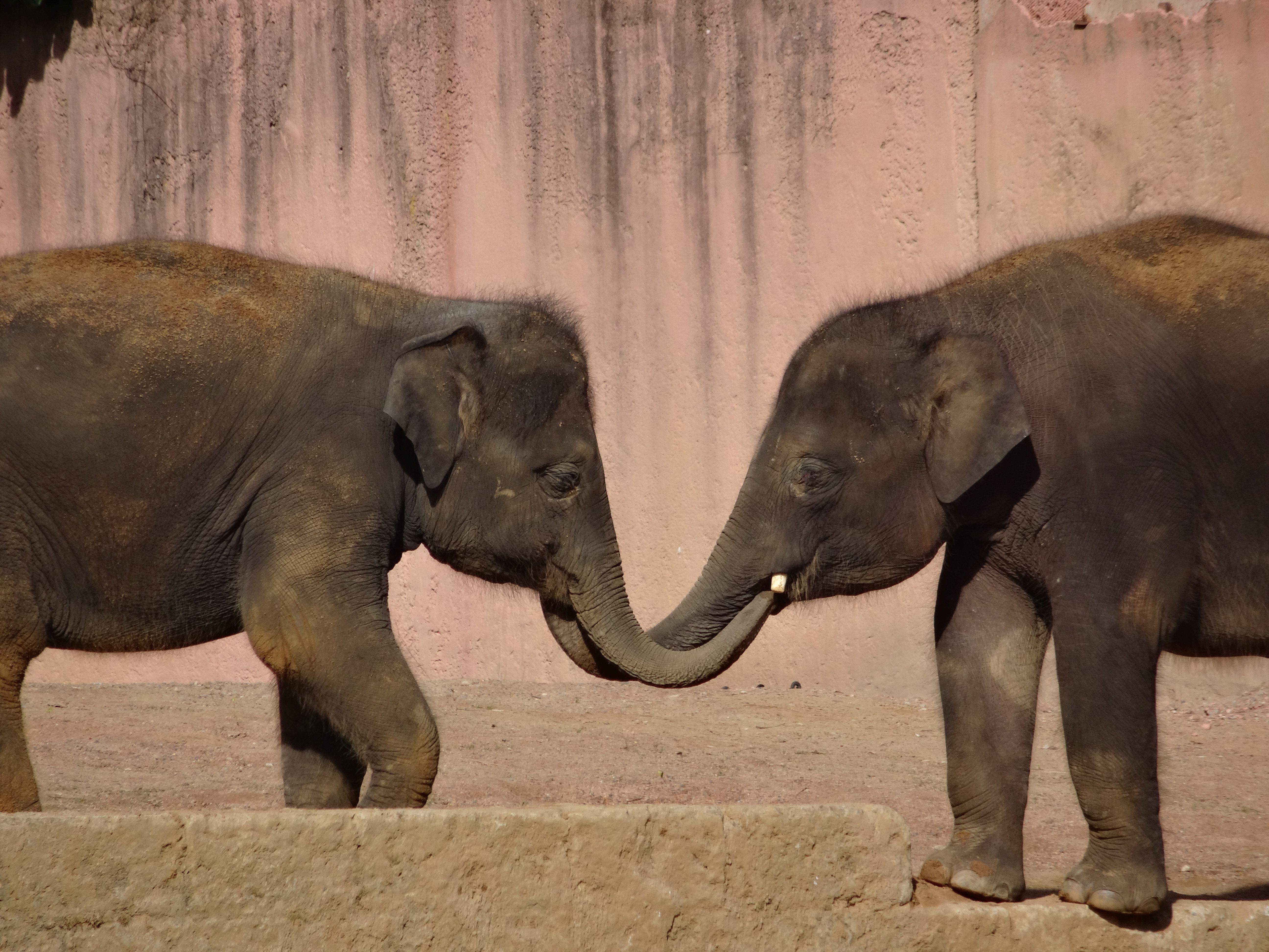Elefant  (2)