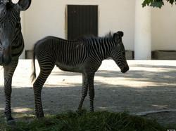 Zebra  (67)