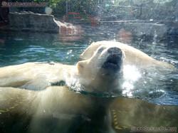 Eisbär  (18)