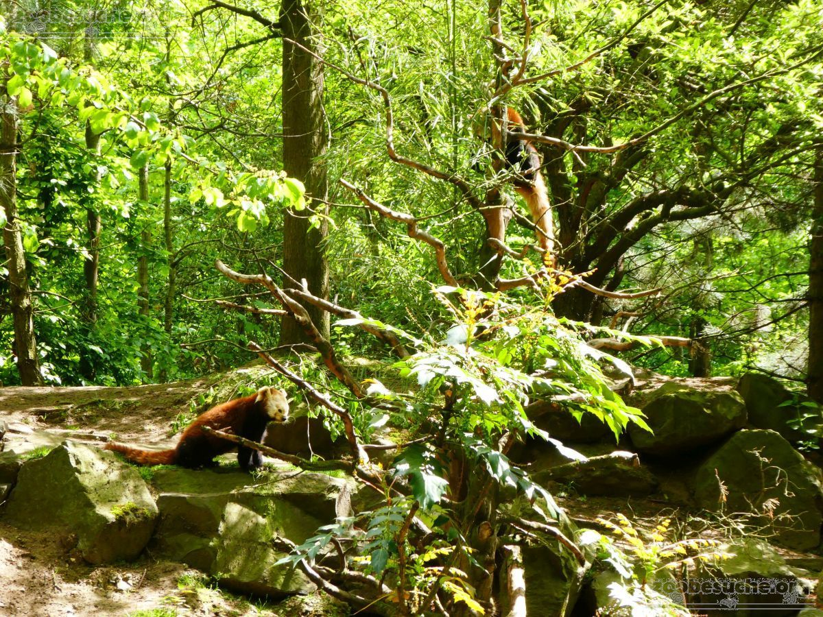 Roter Panda  (20)