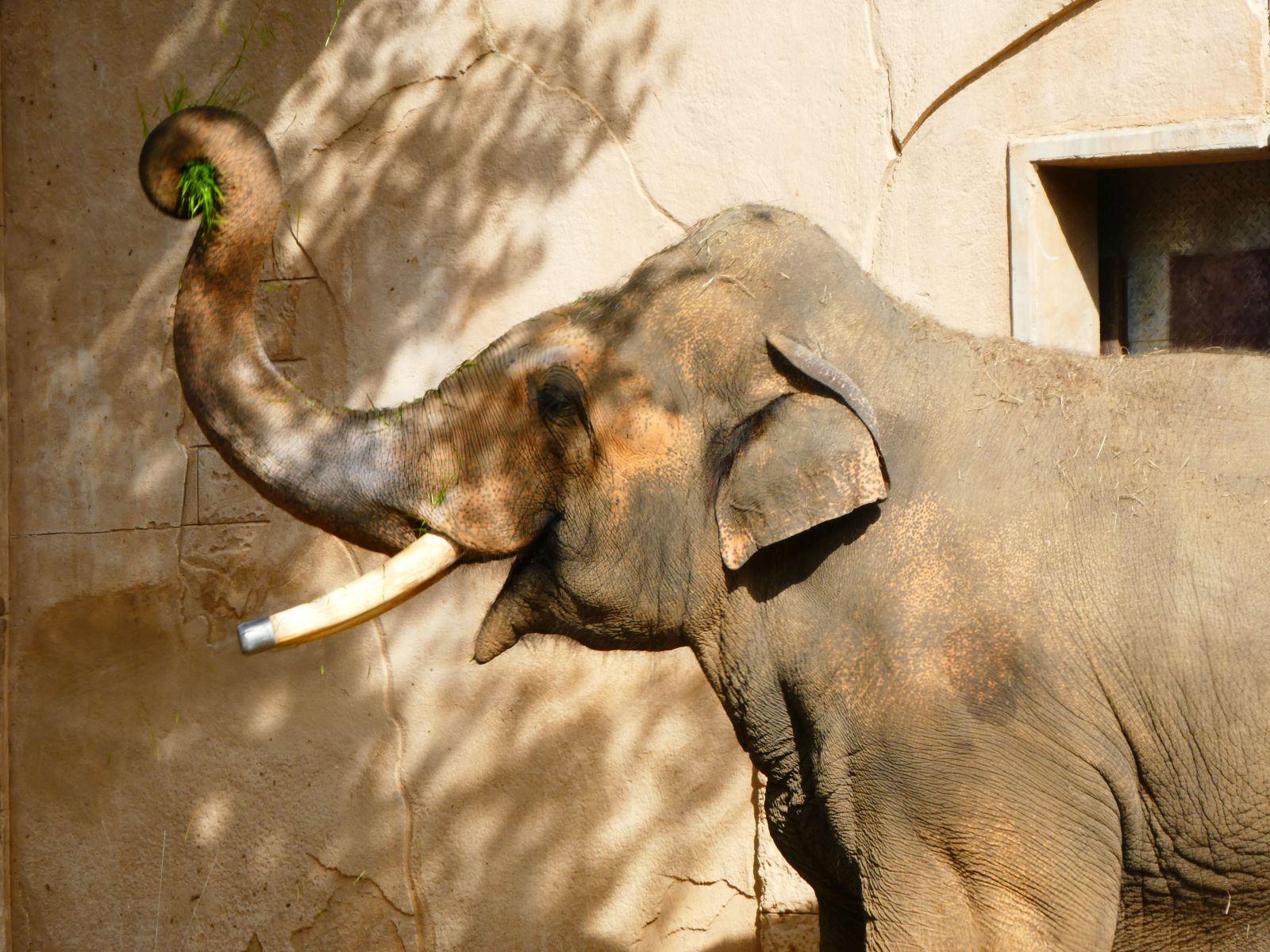 Elefantenbulle Nikolai