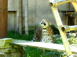 Leopard Julius  (1)