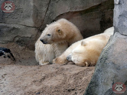 Eisbären_Milana_und_Nana_(5)