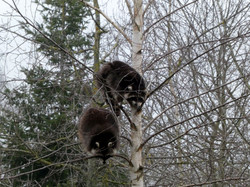 Waschbären  (3)