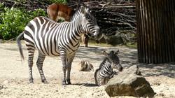 Zebra  (5)