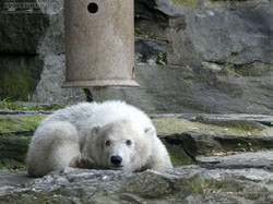 Eisbär  (29)