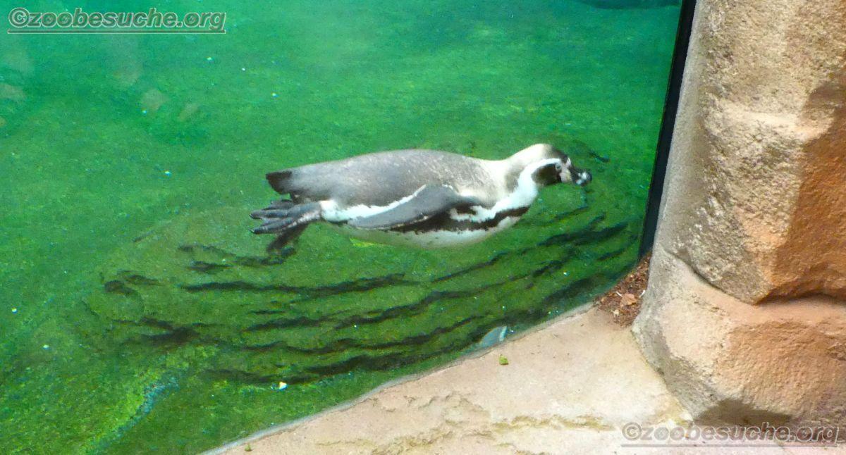 Humboldt-Pinguin  (7)