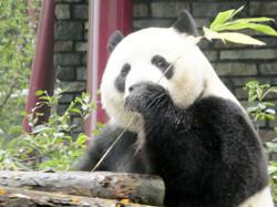 Panda  (14)