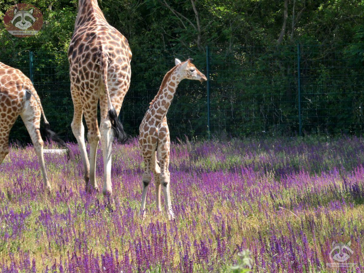 Giraffe Henry  (1)