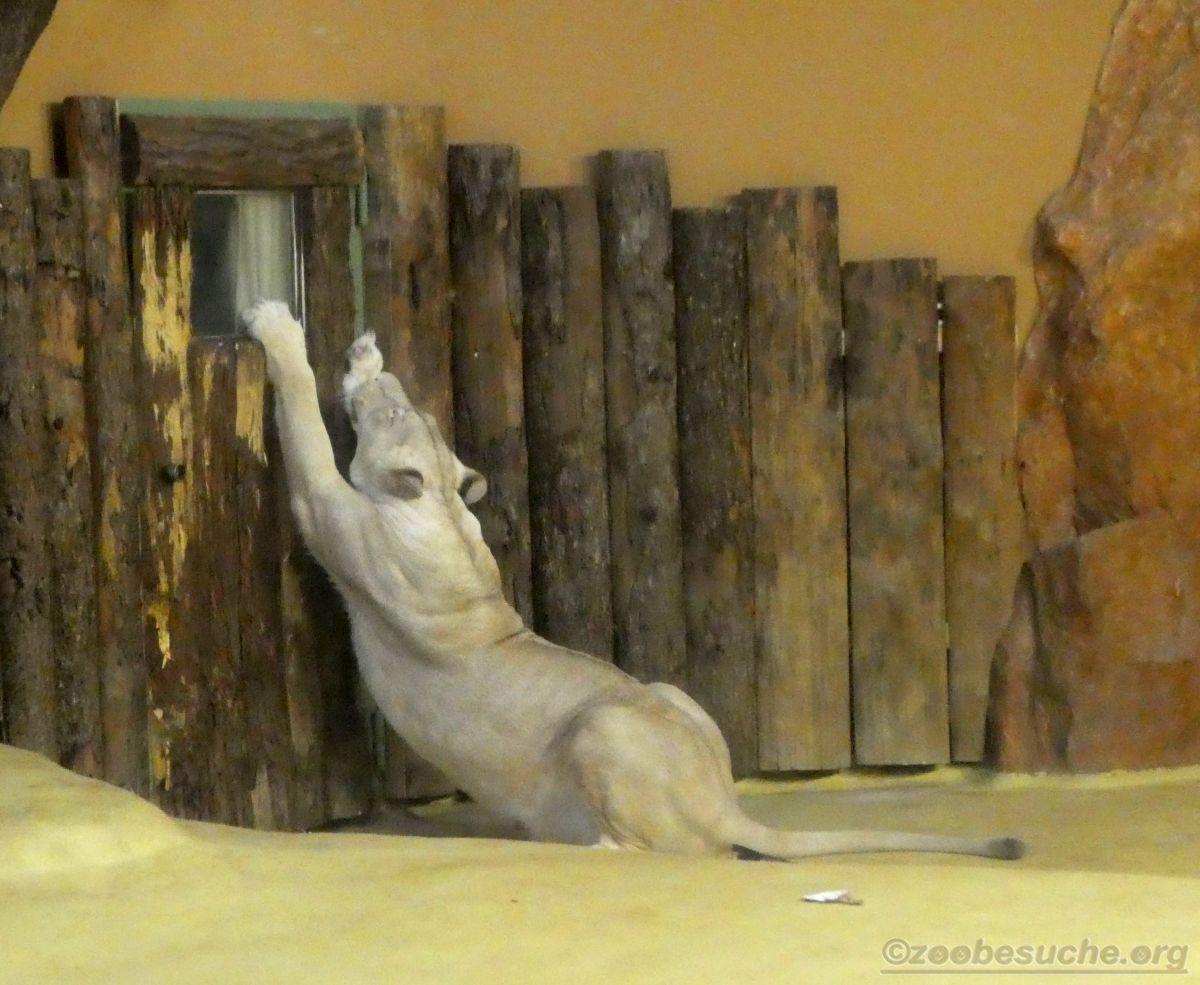 Weiße Löwin (2)