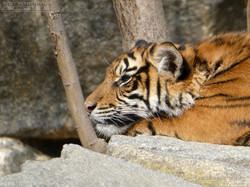 Tiger  (15)