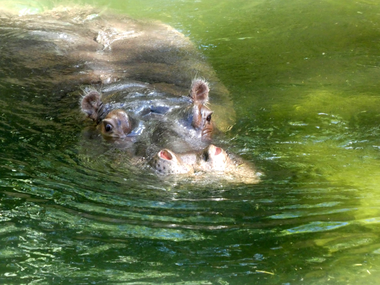Flusspferd  (12)