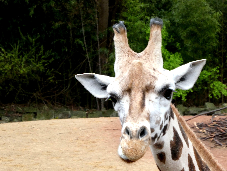 Giraffen  (1)