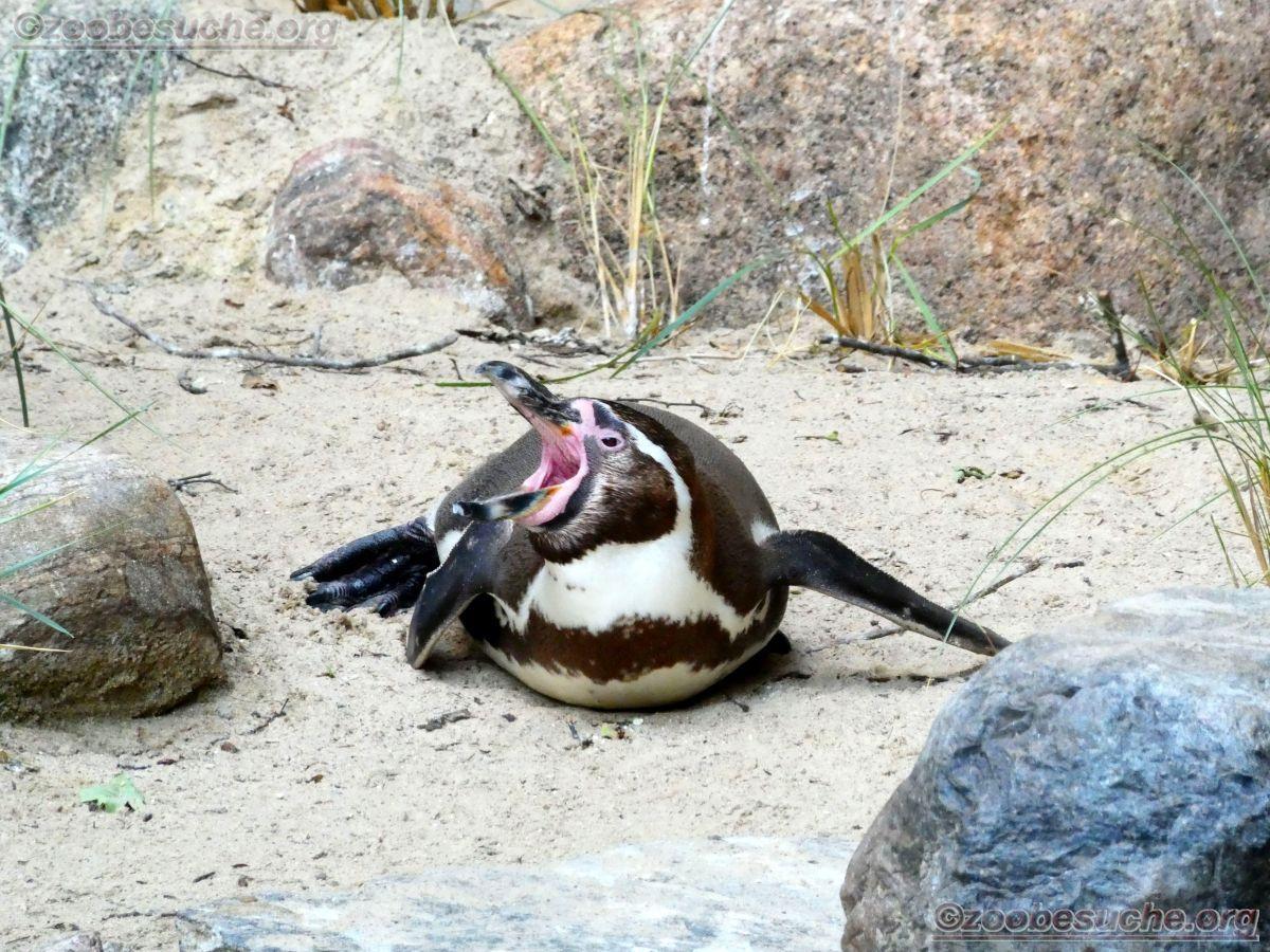 Humbolt Pinguine  (9)