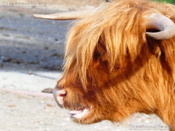 Highland Rinder  (4)